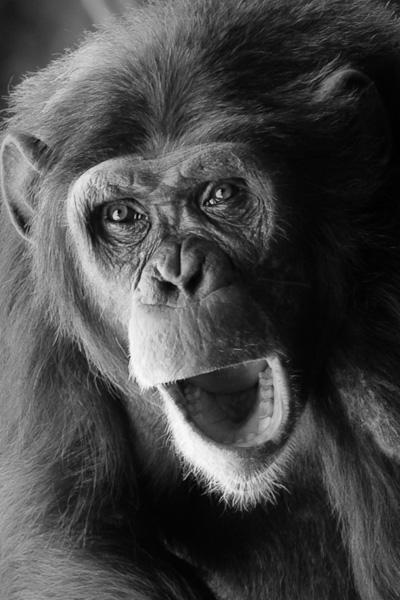 Schimpans