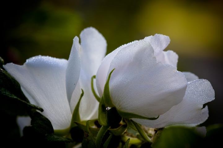 Vit blomma