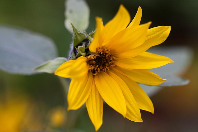 Blomma i Norsa Hage
