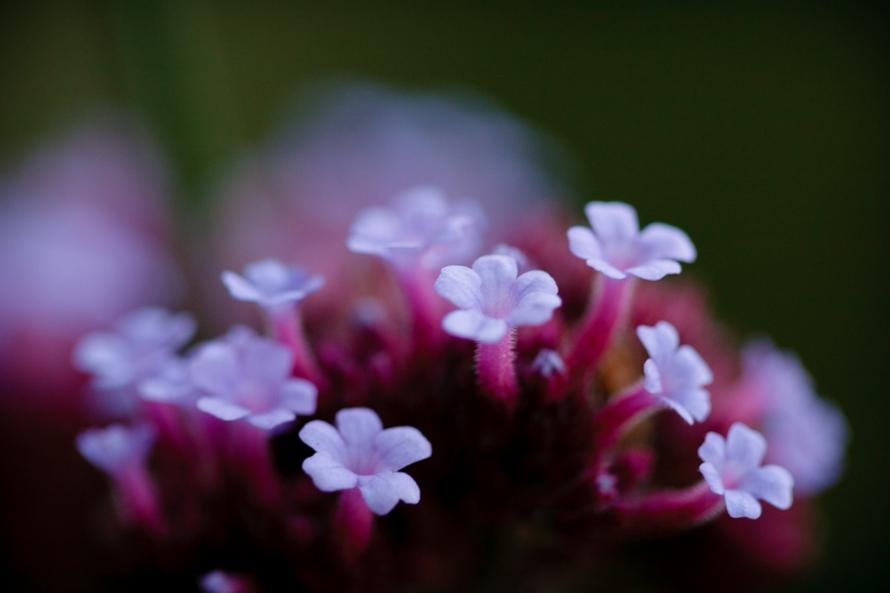 Blommor fotograferade med Canon EF 100/2.8 USM Macro 1:1