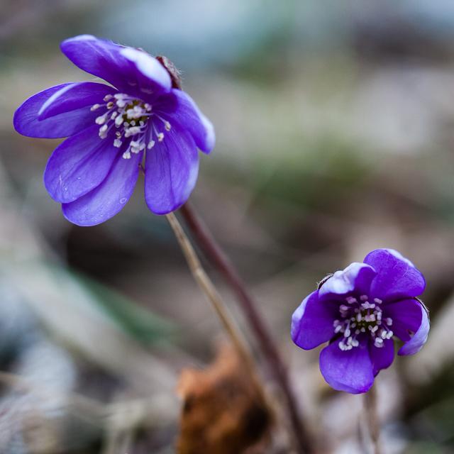 flora 3651  blomma blåsippa