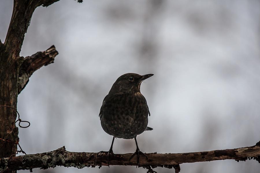 fauna  fågel