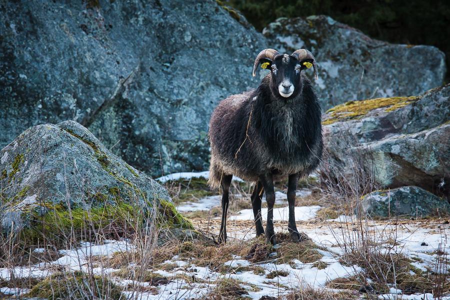 fauna 365 foton 2013  får
